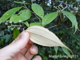 Miconia cubatanensis (3)2
